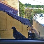 This pigeon showed up every morning at my windowsill.