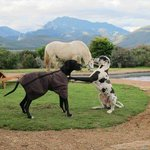 Outeniqua Moon Percheron Stud and Guest Farm Foto