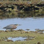 Green heron on the beach next to Birdies Nest