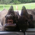 two friendly rhinos