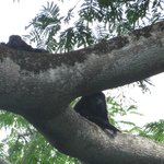 Howler Monkeys on the canopy tour