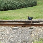 Water Hen (?) chasing train for Engineer tossed feed