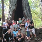 the Grandmother redwood tree on hiking trail