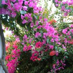 Bouganvillia that surrounds the studios