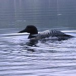 Loon on Lowell Lake