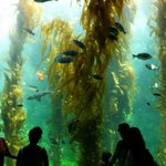 The kelp aquarium - breathtaking