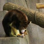 New mama tree kangaroo
