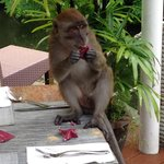 Monkey creating havoc during breakfast by grabbing packet sugars from the table. Guests were hor