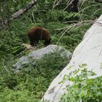 Bear in Zumwalt Meadow.