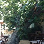 The 100+ year-old fig tree