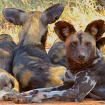 African wild dogs at Loisaba