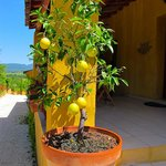 Lemon tree by the main entrance