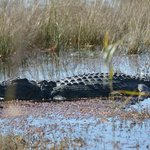 Crocodiles both large and small