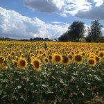 Nearby Sunflower field on the way to Cortona