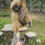 This gibbon wasn't hungry, just wanted to be touched