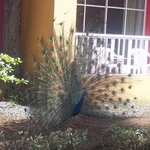 the peacocks that walk around