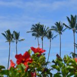 Blue shies, Palms and Red Hibiscus