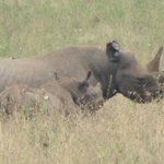 Black Rhino with Baby