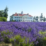 Lavender in front of the Inn