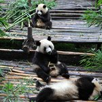 Giant Panda Breeding Research Base (Xiongmao Jidi) Foto