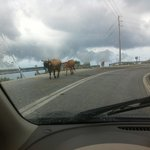 Greek cows like greek roads