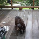 A bear on the deck - from dining room