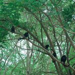 Howler Monkeys on Four Season Property