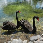 black swans on the hotel grounds