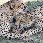 Cheetah love