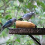 Blue-grey tanagers stopped by every morning