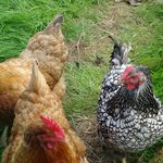 A few ladies who supply the eggs for your breakfast