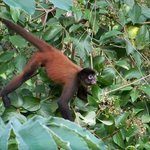 Spider monkeys came near our room at least twice a day