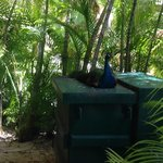 A peacock right outside our room