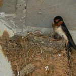 barn swallow and babies