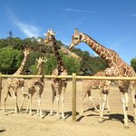 Some of the giraffes at Safari West.