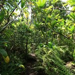 Iao Valley Ridge Trail- the trail itself in one of its more tropical sections.