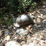 Local wild tortoise found on mountain footpath 50Mtrs from hotel