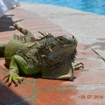 iguana laying by pool