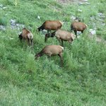 Several elk grazing along the lake