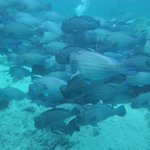 School of bump head parrot fish