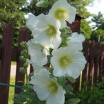 one of many Hollyhocks beautifying the front garden