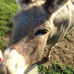 rosie the sweet donkey