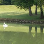 A swan glides by on the clear lake across from the Inn.