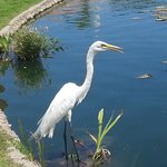 The permanent resident Egret