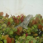 See Iguanas or lizards on resort grounds!