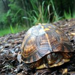 Box turtle off the side of a trail