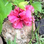 Pink Hibiscus on grounds