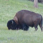 One of the buffalo that decided to visit the Hotel lawn