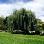 Beautiful willow tree