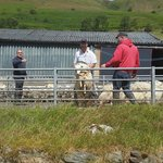 Sheep shearing in Elan Valley - very close